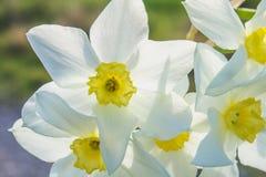 白色黄水仙花束与一个黄色中心的反对一棵蓝天和草在一个晴天 免版税库存图片