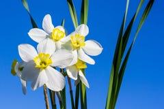 白色黄水仙花束与黄色中心的在蓝天和草背景  库存照片