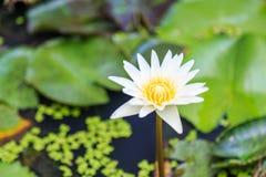 白色黄色荷花花和植物 图库摄影