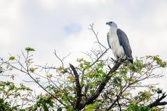白色鼓起了海鹰在Corroboree Billabong NT澳大利亚 图库摄影