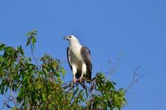 白色鼓起的海鹰在卡卡杜 免版税图库摄影