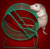白色鼠嗅笼子轮子 免版税库存图片