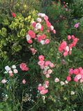白色,桃红色和英国兰开斯特家族族徽 免版税库存照片