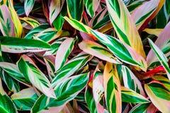 白色,桃红色和绿色叶子植物纹理 库存图片