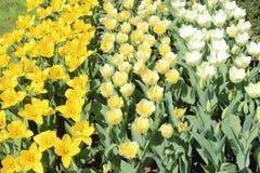 白色,淡黄色和黄色黄水仙 免版税库存照片
