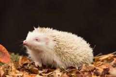 白色,白变种猬猬属Europaeus,成人英国野生猬 免版税图库摄影