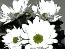 白色,花,inavcica,部分,陈列,克罗地亚 免版税库存照片