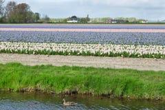 白色,蓝色和桃红色风信花的开花的花田临近Th 免版税库存照片