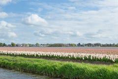 白色,蓝色和桃红色风信花的开花的花田临近Th 库存照片