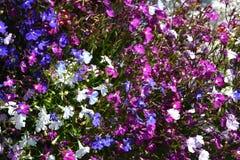 白色,蓝色,桃红色和fushia上色了山梗菜erinus植物 库存图片