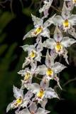 白色,黄色和红色cambria兰花花花束  免版税库存照片