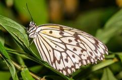 白色,黑和黄色蝴蝶 库存图片