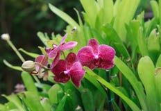 白色,紫色和桃红色兰花植物兰花植物 图库摄影