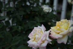 白色,黄色和桃红色玫瑰 免版税库存图片