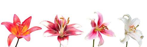 白色,紫色和桃红色百合花,套  免版税库存图片