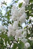 白色紫丁香属植物寻常开花在夏天 免版税库存照片