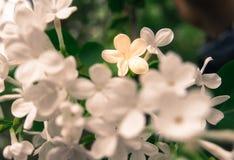 白色紫丁香属植物Linn在春天 图库摄影