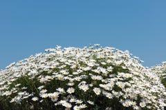 白色延命菊花 免版税图库摄影