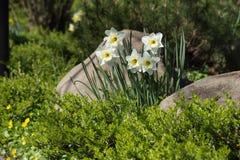 白色黄水仙在与常青箱子和石头,庭院l的一张床上 免版税库存照片