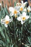 白色黄水仙在春天 图库摄影