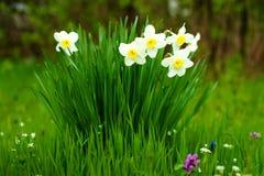 白色黄水仙在绿草背景的庭院里开花  免版税图库摄影