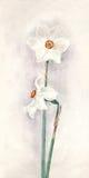 白色水仙水彩绘画 皇族释放例证