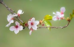 白色/桃红色樱花1 免版税库存照片