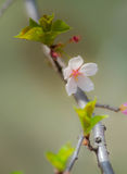 白色/桃红色樱花2 库存照片
