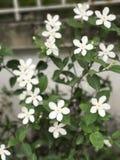 白色&桃红色花卉 免版税库存照片