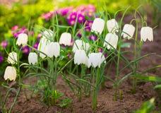 白色贝母和紫色报春花 免版税库存图片