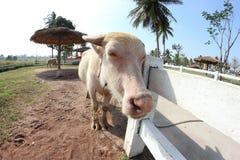 白色水牛 库存照片