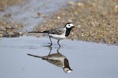 白色令科之鸟,晨曲的Motacilla 库存图片