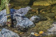 白色令科之鸟(晨曲的Motacilla)在Tista瀑布 库存照片