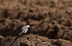 白色令科之鸟Motacilla晨曲在春天 免版税图库摄影