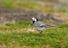 白色令科之鸟Motacilla晨曲基于一个绿草草甸 免版税库存照片