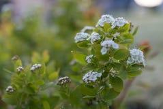 白色绣线菊类的植物花 图库摄影