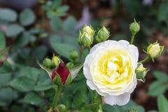 白色黄色玫瑰在庭院里 免版税库存图片