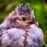 年轻白色紫色鸡摆在 免版税库存照片