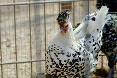 白色黑色chiken 免版税图库摄影