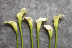 白色水芋属在灰色背景开花(马蹄莲), 免版税库存照片