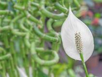 白色水芋百合有绿色背景 免版税图库摄影