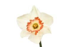 白色黄水仙花 图库摄影
