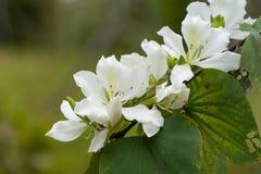 白色紫荆花花 库存照片
