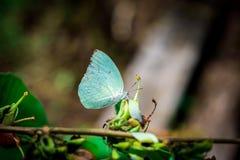 白色蝴蝶和花粉 免版税库存照片