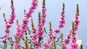 白色蝴蝶和蜂在狂放的紫色花 股票视频