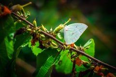 白色蝴蝶和绿色叶子花粉 免版税图库摄影