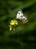白色蝴蝶和黄色花 库存照片