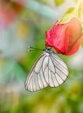 白色蝴蝶在一个晴天斑纹了黑白,坐一朵红色玫瑰花 垂直的框架 免版税图库摄影