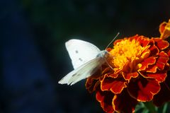 白色蝴蝶坐万寿菊Tagetes花  免版税图库摄影