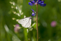 白色蝴蝶坐在草甸的花 免版税库存图片
